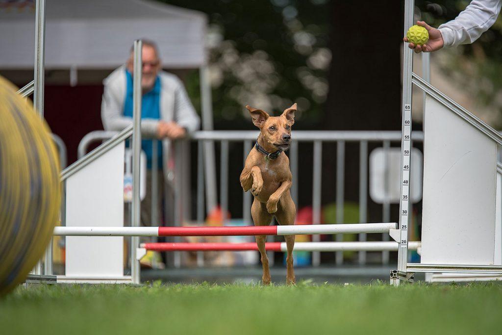 agility-dog-1_1280